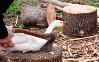 Как разделать гуся легко и быстро