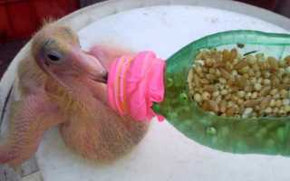 Чем нужно кормить птенца голубя дома