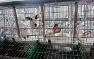 Особенности кормления кроликов зерном