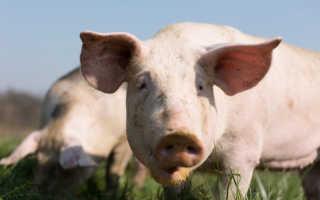 Домашняя свинья и ее разведение