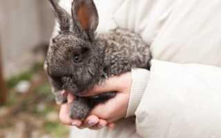 Принцип искусственного осеменения кроликов