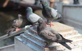Как можно поймать дикого голубя