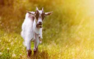 Выделения у козы после окота это норма или отклонение