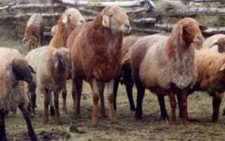 Описание Эдильбаевской породы овец