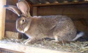 Бельгийские кролики фландр: разведение, содержание