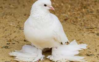 Характеристика голубя Агарана