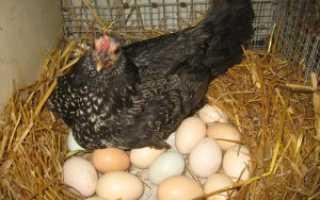 Продолжительность яйценоскости у кур-несушек