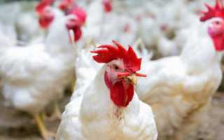 Сальмонеллез у кур и петухов