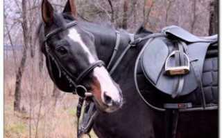 Описание лошадей породы Берберийская, фото