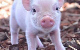 Для чего нужны витаминно-минеральные добавки для свиней