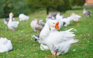 Тяжеловесные холмогорские гуси