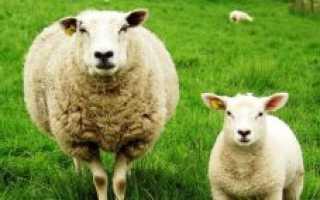 Сколько в среднем весит баран, чистый вес по мясу