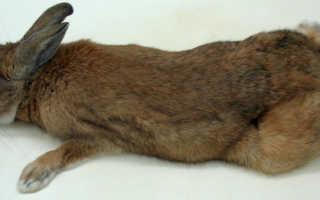 Что делать если у кролика отказали задние или передние лапы