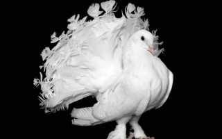 Описание породы голубей Павлинов