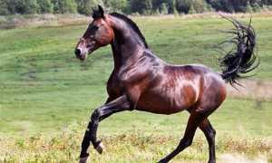 Русская рысистая порода лошадей: фото, описание