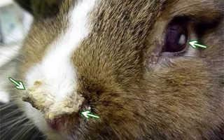 Болезни и заболевания кроликов: лечение, профилактика