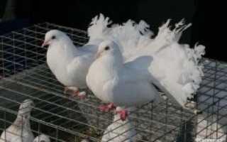Как выращивать домашних голубей