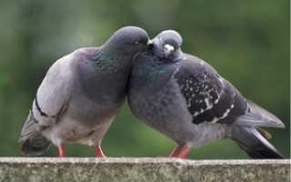 Сизый голубь – характеристика