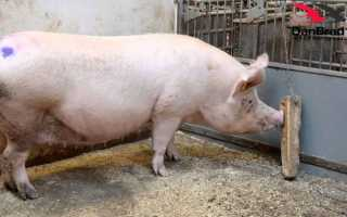 Литовская белая большая порода свиней: фото, описание