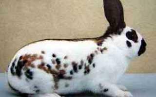 Какие породы кроликов совместимы для скрещивания