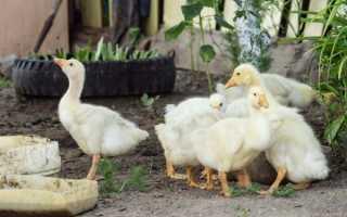 Как сделать кормушку для гусей