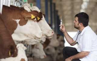 Основные правила искусственного осеменения коров