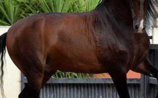 Андалузская порода лошадей: фото, описание, история