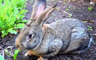 Различные мясные породы кроликов