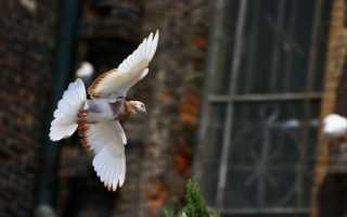 Особенности Кировоградских голубей
