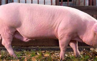 Описание свиней острова Оссабо: фото породы, характеристика