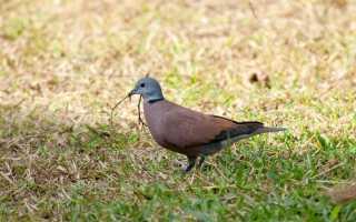Дикие и домашние голуби