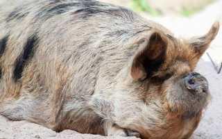 Описание свинок мини-пигов породы Кун-Кун, фото
