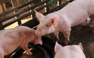 Азы разведения свиней для новичков