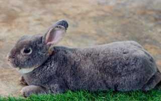Каковы особенности породы кролей Серый Великан