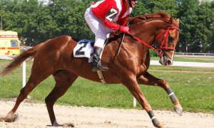 Английская чистокровная разновидность лошадей