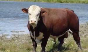 Шортгорнская мясная порода коров для разведения, фото