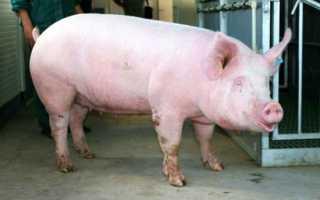 Порода украинской белой крупной свиньи: фото, описание