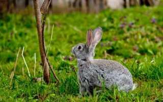 Какой веточный корм можно давать кроликам
