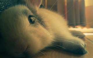 Пастереллез у кролей и методы его лечения