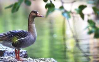 Характеристика гусей гуменников