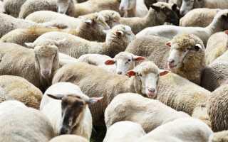 Как подобрать клички для барашков и овец