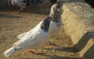 Особенности пакистанских голубей